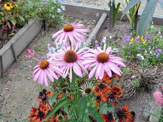 Эхинацея: виды, сорта, особенности выращивания