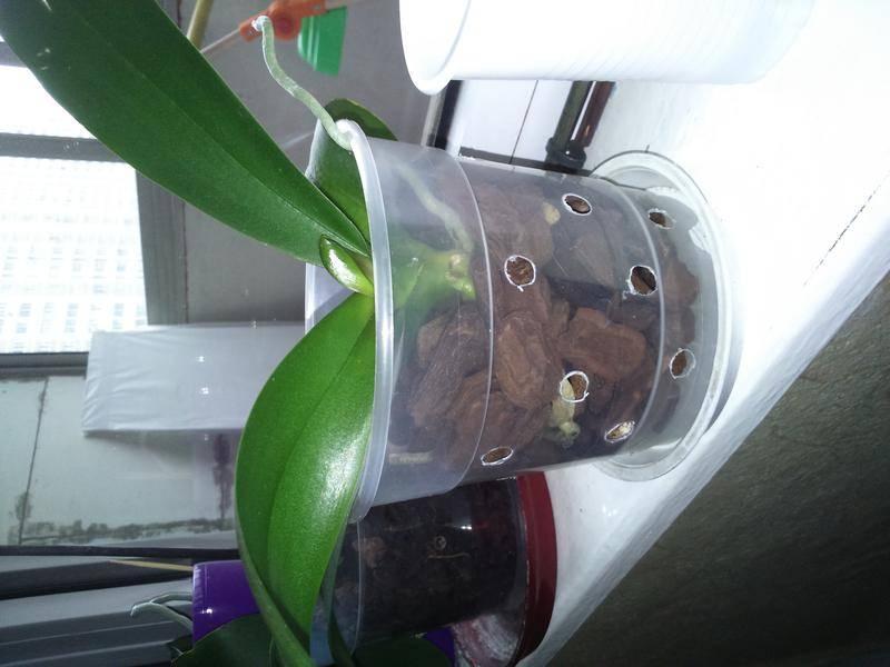 Пошаговая инструкция, как отсадить детку орхидеи в домашних условиях
