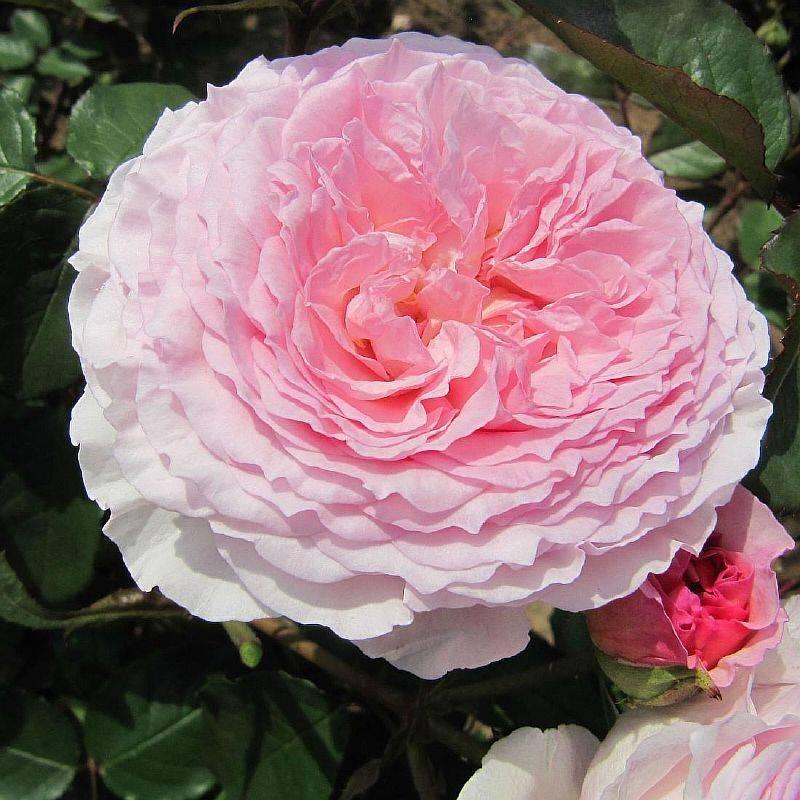 Чайный гибрид афродита: что это за сорт роз, выращивание на приусадебном участке