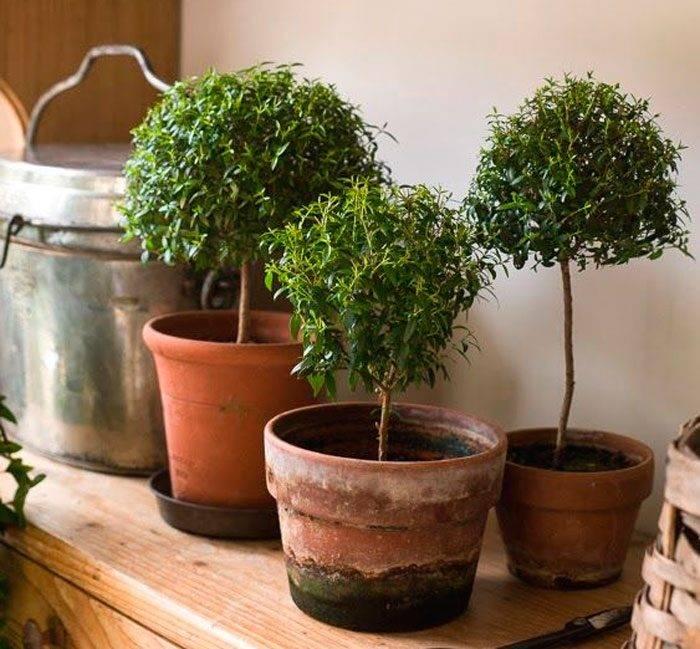 Мирт - ухода в домашних условиях, особенности выращивания, пересадки и размножения, формирование растения, в том числе бонсай