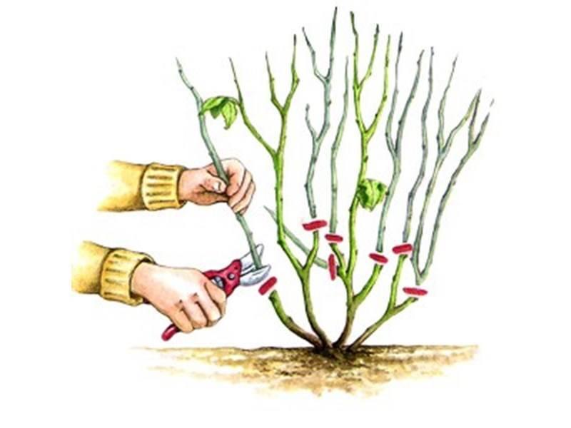 Как обрезать розы осенью, чтобы они отблагодарили буйным цветением?