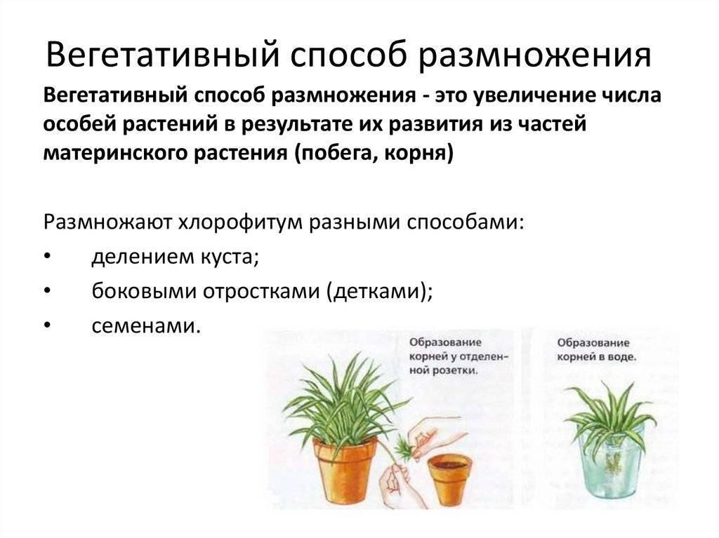 Гастерия - мои комнатные растения