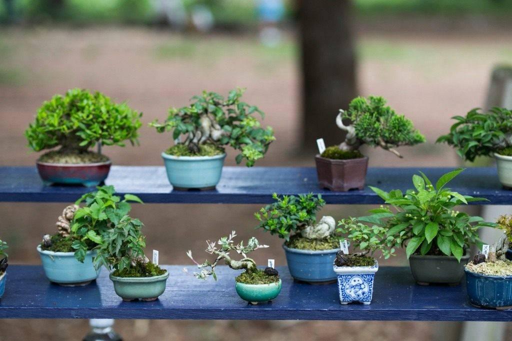 Нолина (бокарнея, бутылочное дерево): фото, уход в домашних условиях, пересадка, болезни и вредители