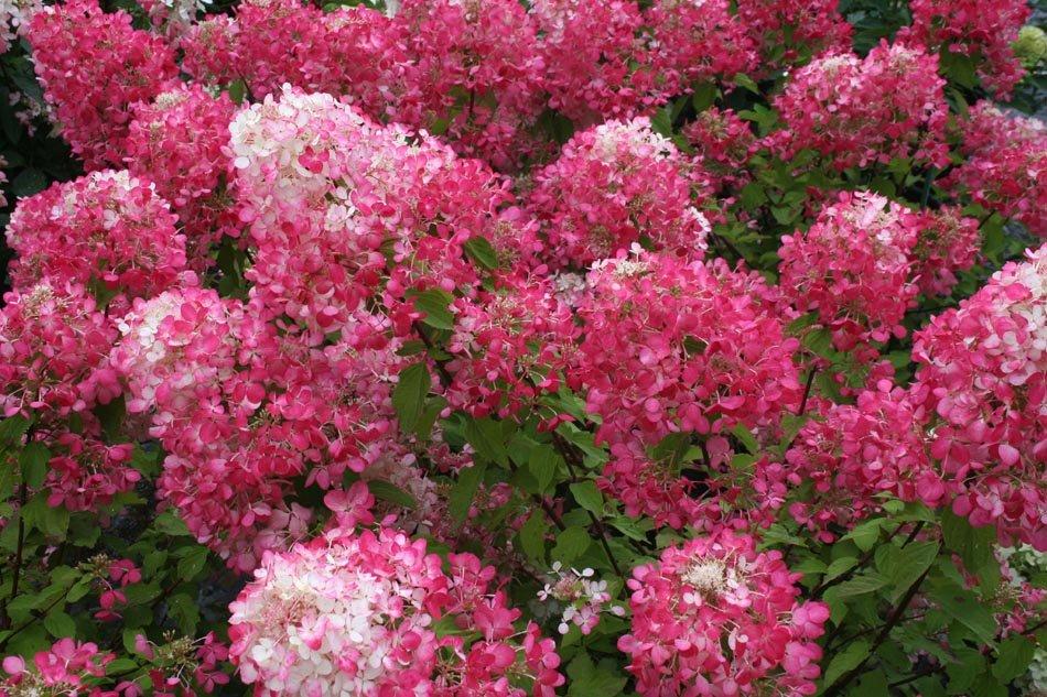 удовольствие цветущие кустарники для дачи в подмосковье фото вани