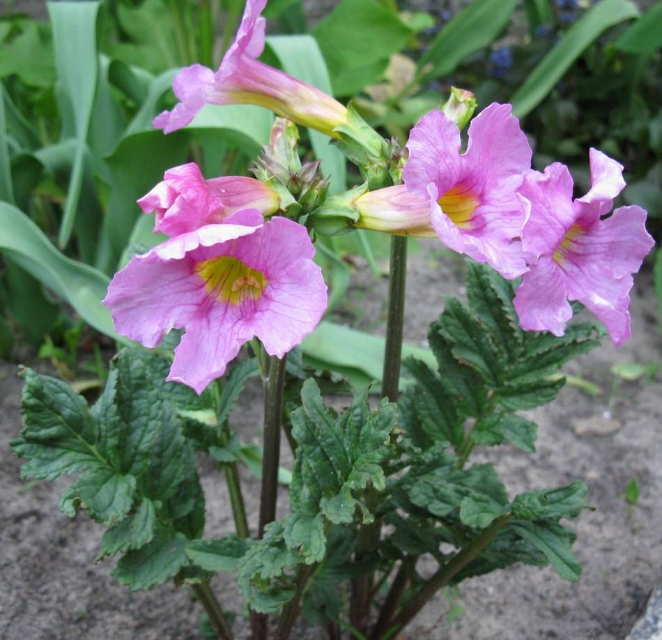 Скромная садовая красавица – инкарвиллея