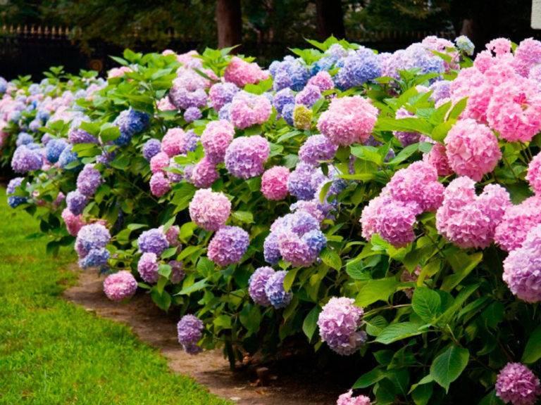 Весенняя подкормка для гортензий: удобрения для метельчатого вида в мае и июне