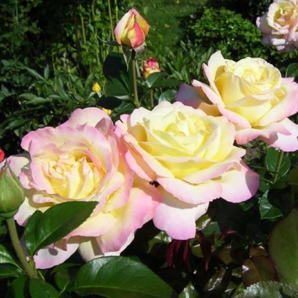 Роза эксплорер (explorer) — описание сортовой культуры