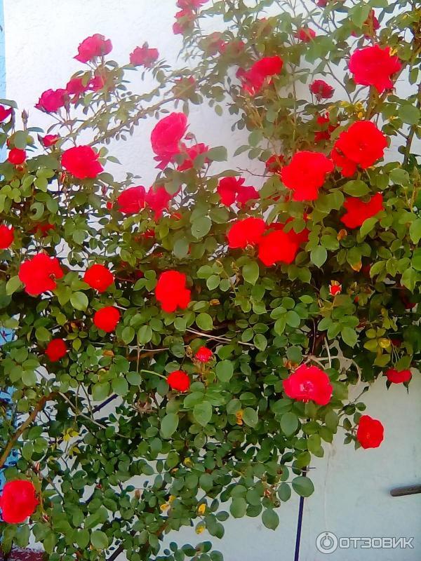 Описание и характеристики плетистой розы сорта симпатия, посадка и уход