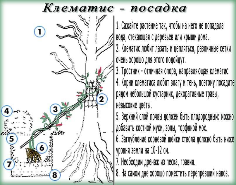 Клематисы: выращивание рассады в домашних условиях, посадка, уход и размножение