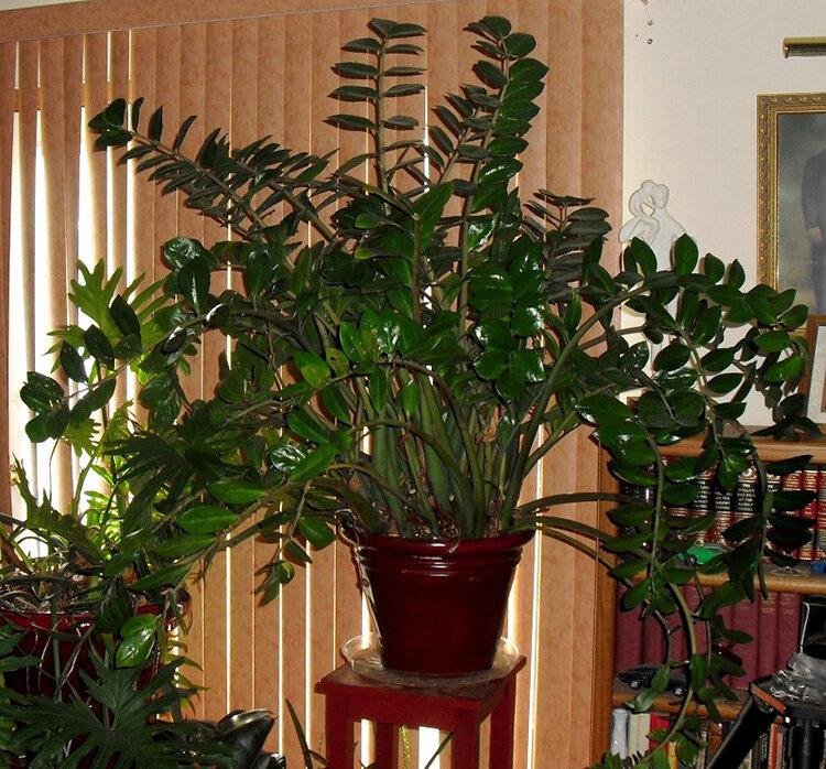 Как цветет долларовое дерево замиокулькас и что говорят приметы о цветке