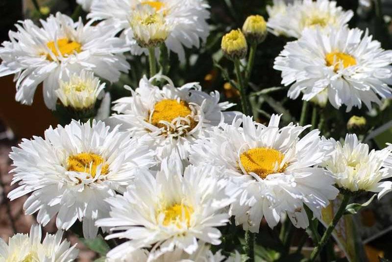 Цветок нивяник: выращивание из семян в саду, фото, посадка и уход