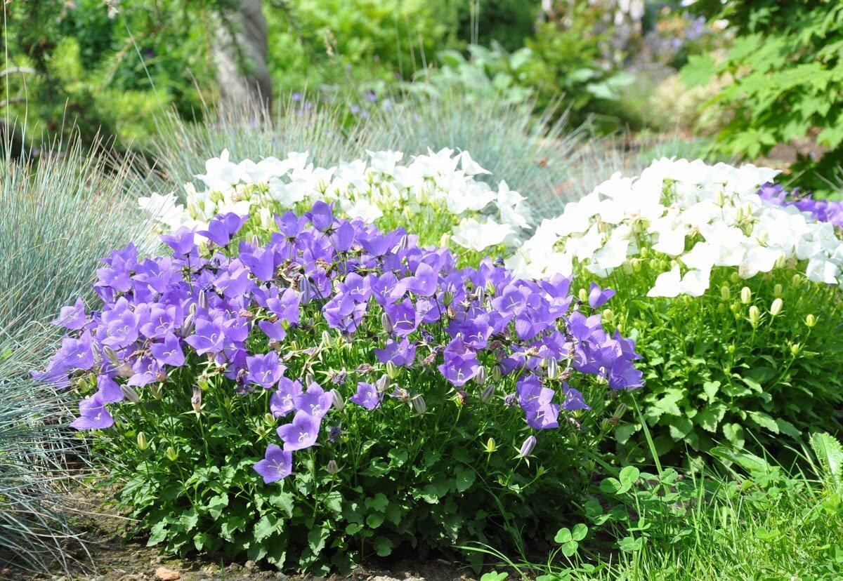 Колокольчик садовый многолетний: как выращивать, какие колокольчики многолетние стоит посадить в саду. | красивый дом и сад