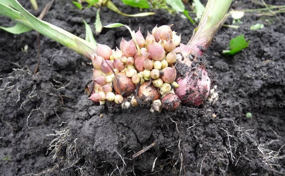 Когда выкапывать тюльпаны — можно ли сразу после цветения