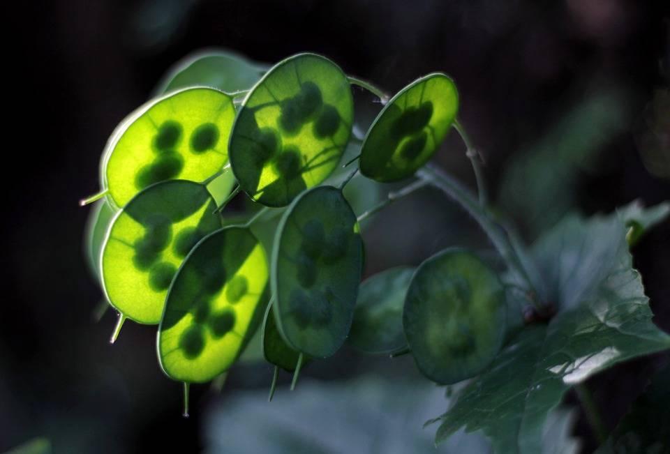 Лунник многолетний (оживающий) — лечебные свойства и характеристика растения