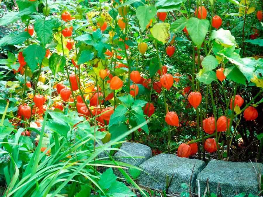 Уход за физалисом овощным (съедобным): посадка в открытом грунте, выращивание