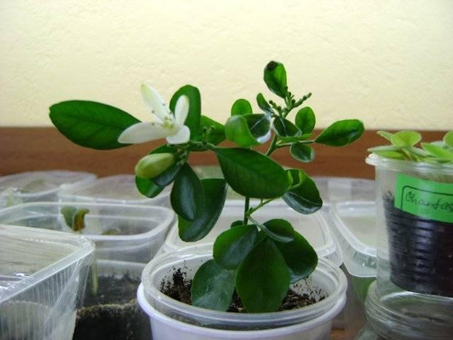 Цветок мурайя уход в домашних условиях выращивание из семян и размножение фото