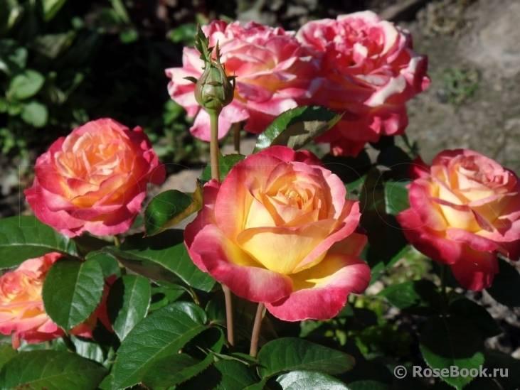 Роза восточный экспресс (pullman orient express) — что это за сорт