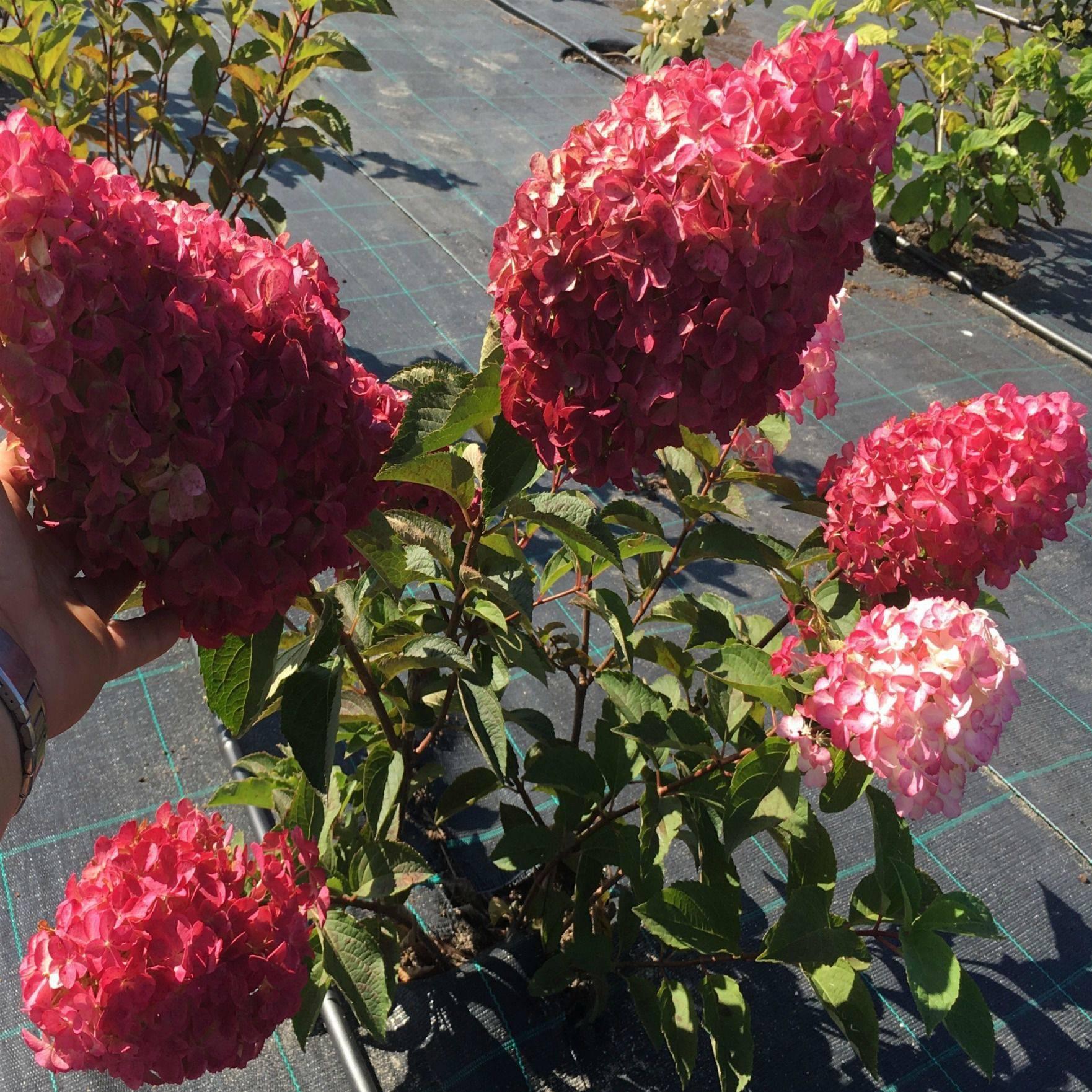 Гортензия сандей фрайз (hydrangea paniculata sundae fraise) — описание - pocvetam.ru