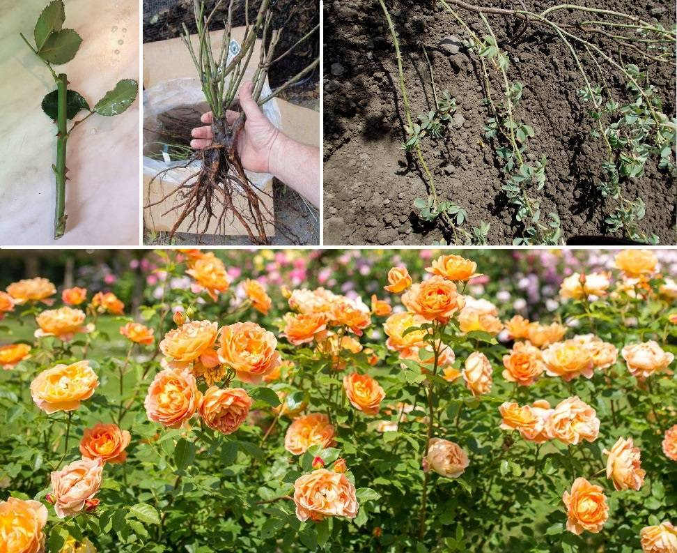 О розе first lady: описание и характеристики сорта розы первая леди