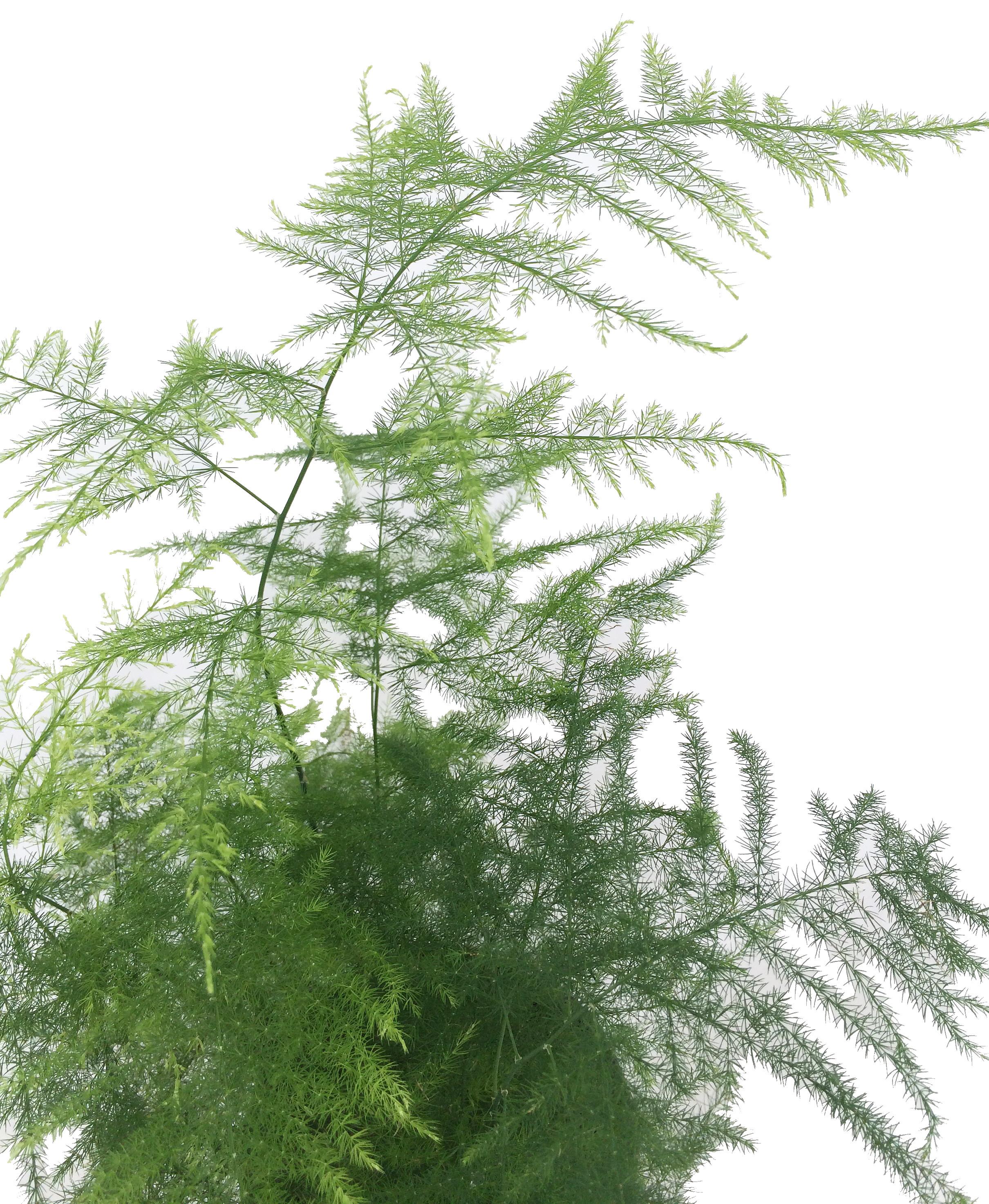 Аспарагус – уход в домашних условиях за пышной зеленью