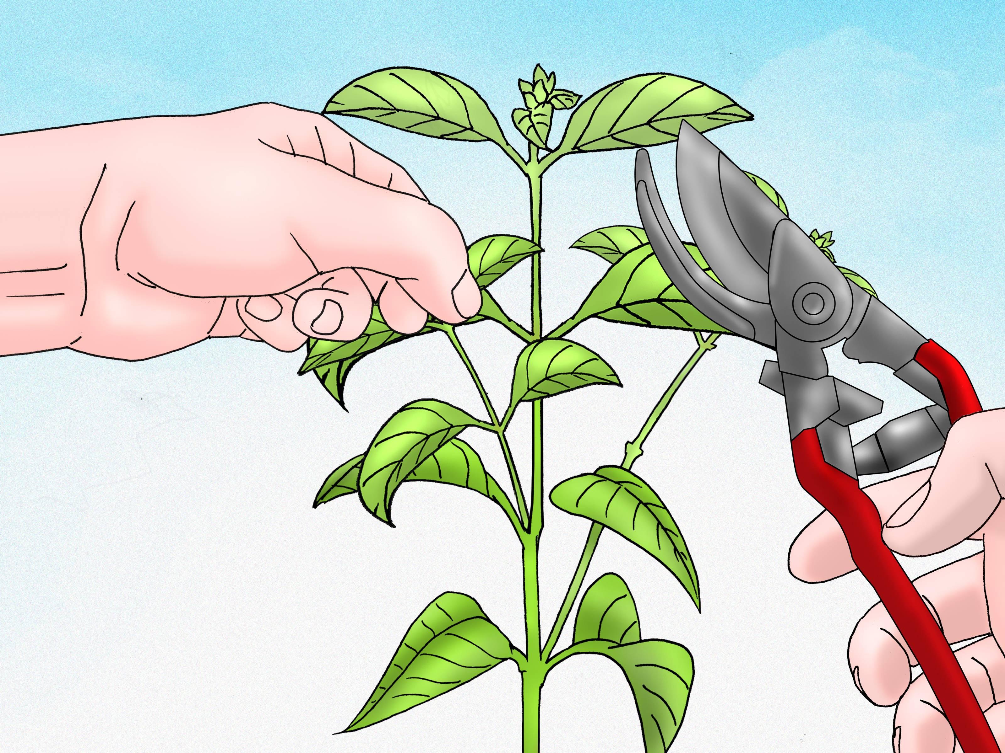 Обрезка каланхоэ: зачем нужна эта процедура, что дает, как и когда ее проводить, можно ли удалять листья, побеги или бутоны у цветущего растения, и дальнейший уход