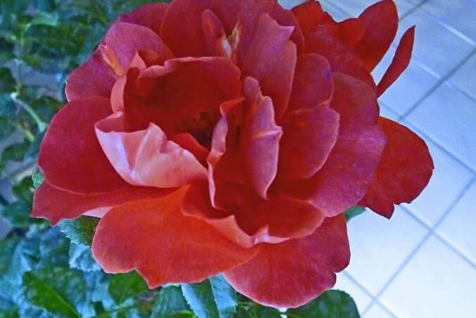 Особенности розы-флорибунда хот шоколад или горячее какао: посадка, как ухаживать