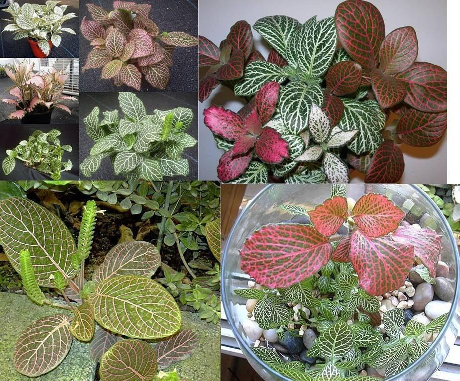 Фиттония: все нюансы ухода за цветком в домашних условиях + фото и видео