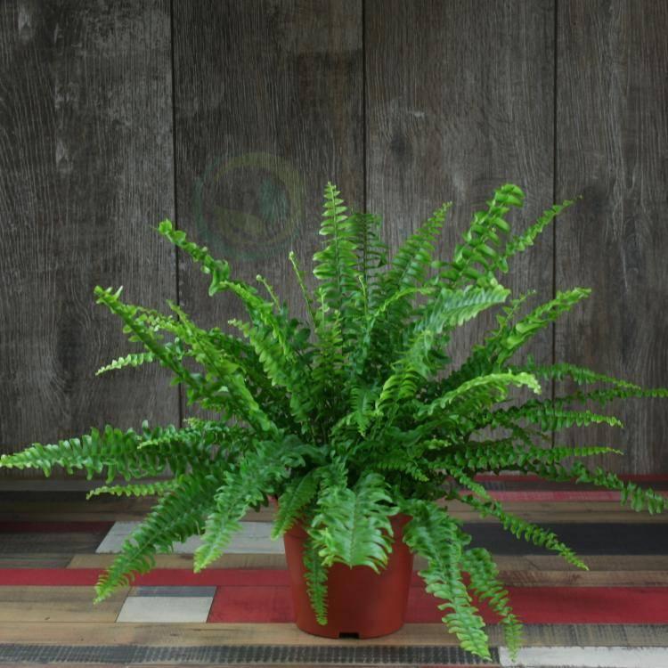 Как вырастить папоротник комнатный — уход в домашних условиях