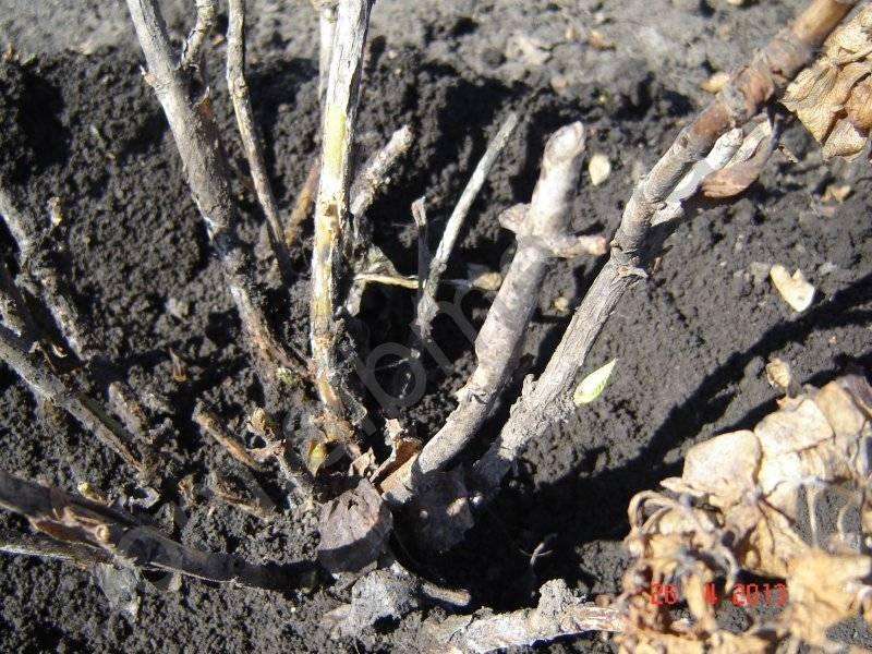 Гортензия после зимы: почему не растет и не просыпается?