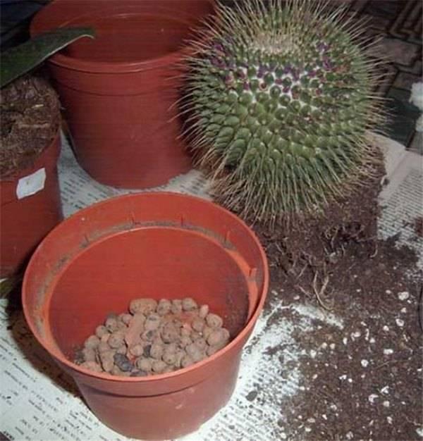 Разновидности кактуса опунции, уход, варианты размножения и цветения