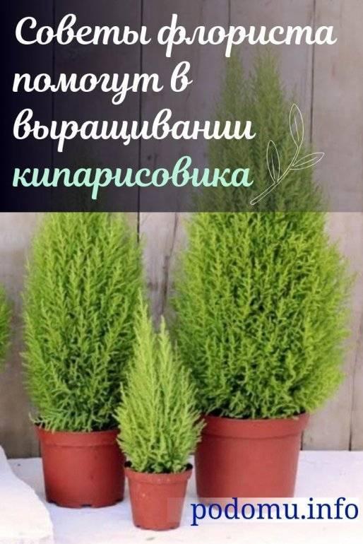Кипарисовик лавсона алюмиголд (chamaecyparis lawsoniana alumigold)
