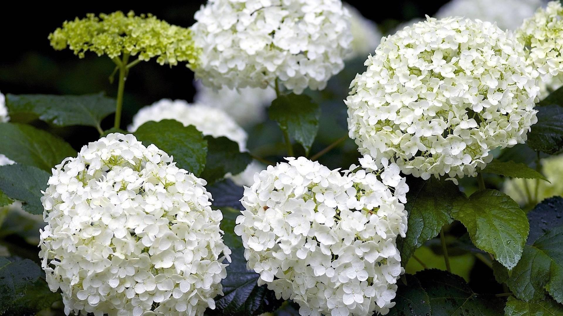 Гортензия: описание, фото, основные характеристики (высота, корень, как выглядят семена), ядовитость цветка, родина растения