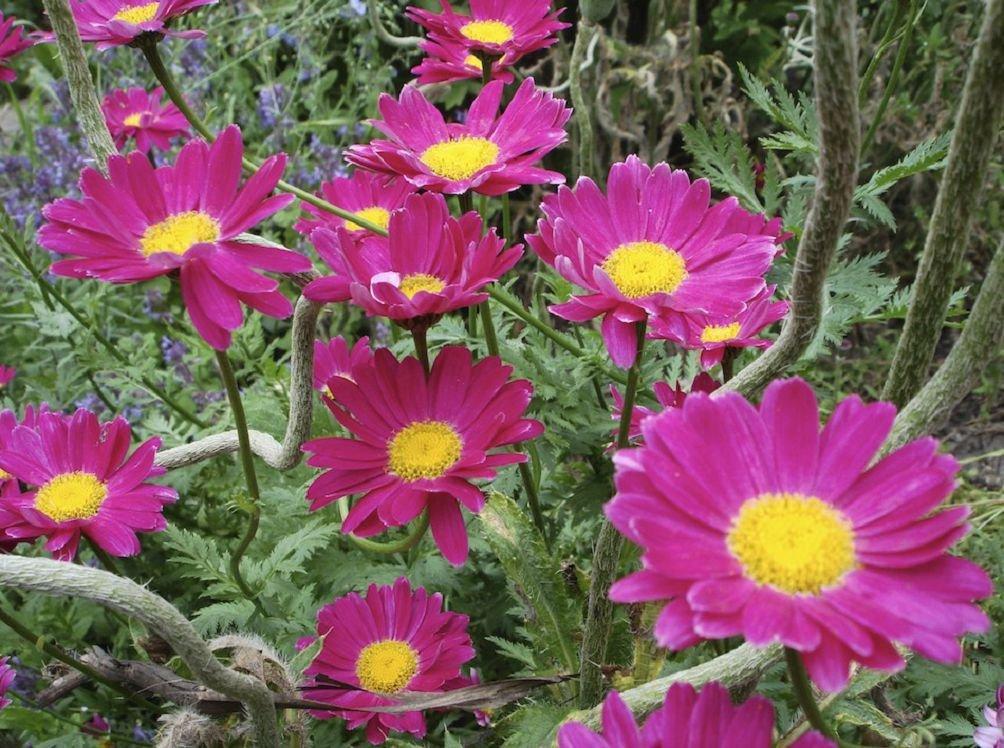 Особенности выращивания ромашки персидской красной (далматской)