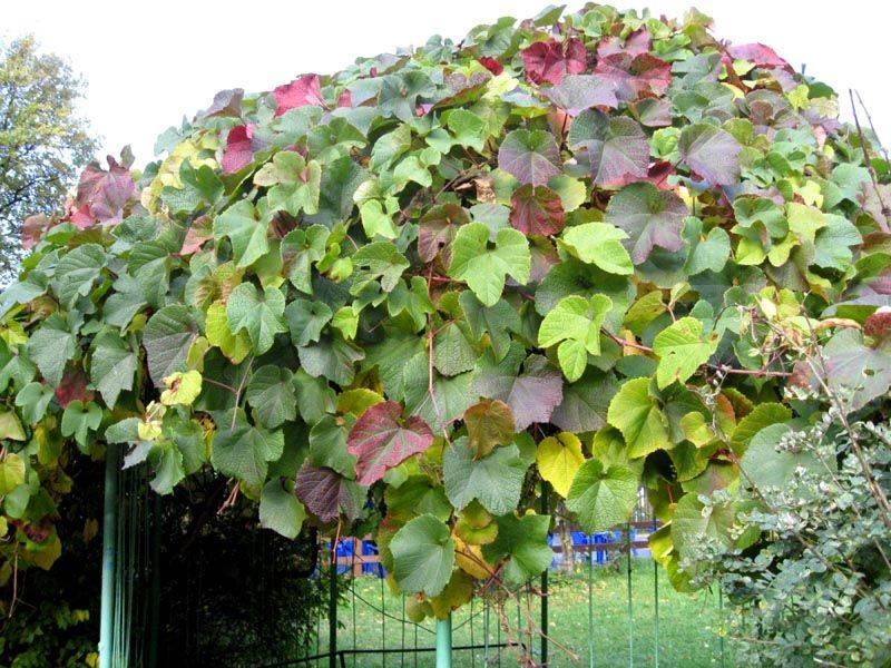 Многолетние лианы для солнечных и полутенистых садов