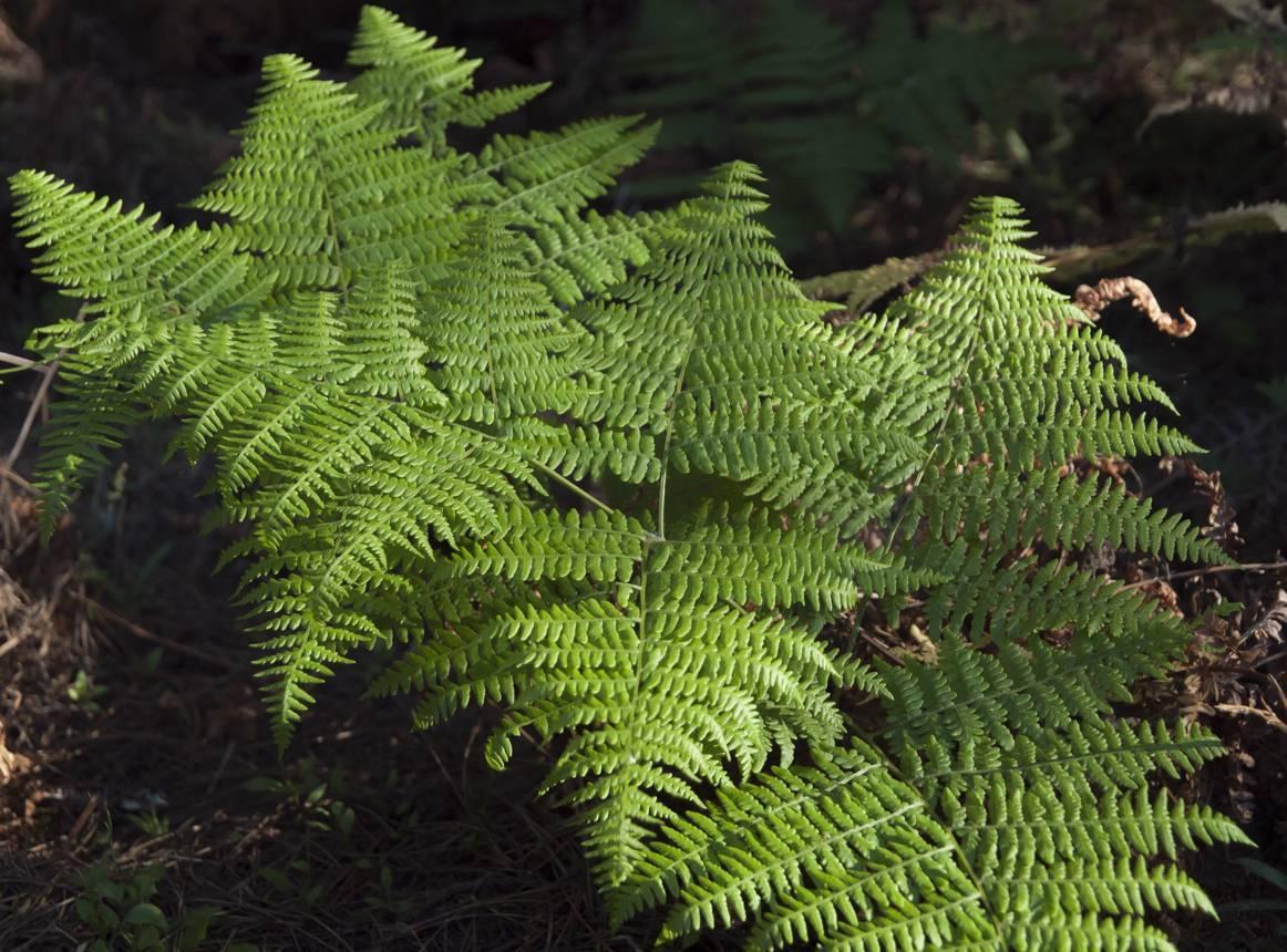 О папоротнике орляк дальневосточный: описание сорта, как посадить и ухаживать
