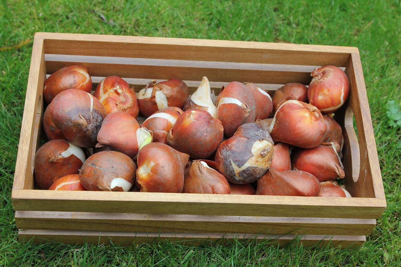 Выкапываем тюльпаны на хранение до посадки: сроки на 2020 год и полезные советы