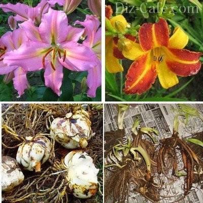 Невероятный лилейник: особенности посадки, ухода и размножения в открытом грунте