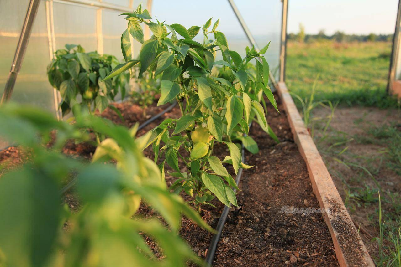 Азарина - уход и выращивание лианы