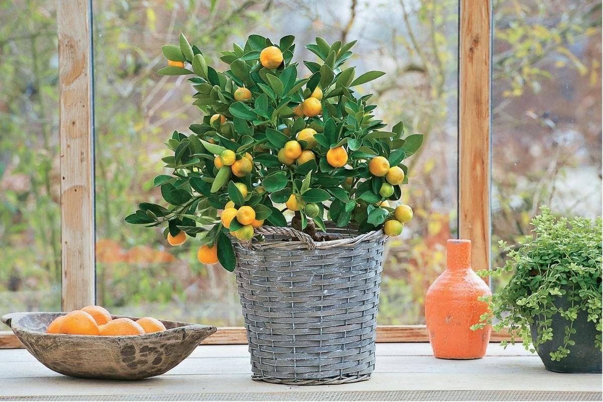 Лимонник китайский – посадка и уход