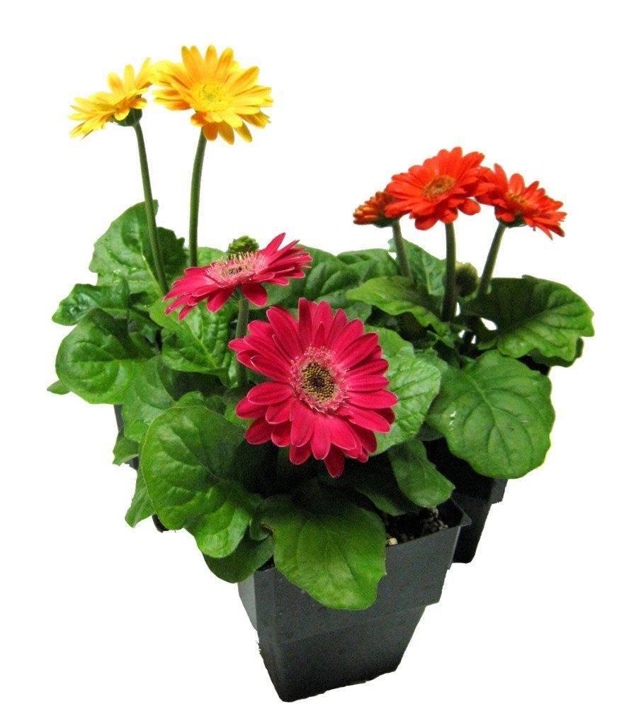 Гербера как выращивается из семян в домашних условиях? фото