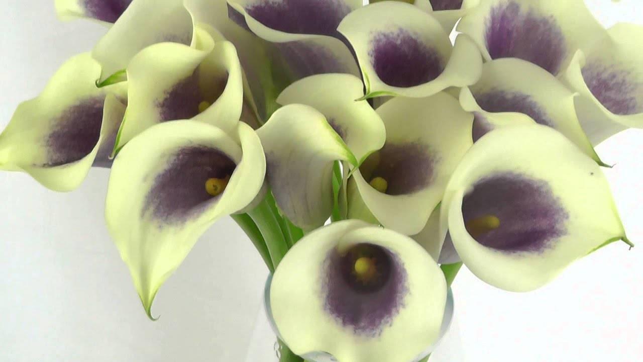 Амариллис — цветок луковичный и его разновидности - pocvetam.ru