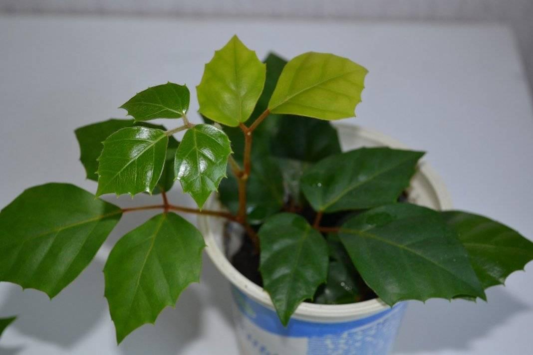 Выращивание в домашних условиях растения — роициссус