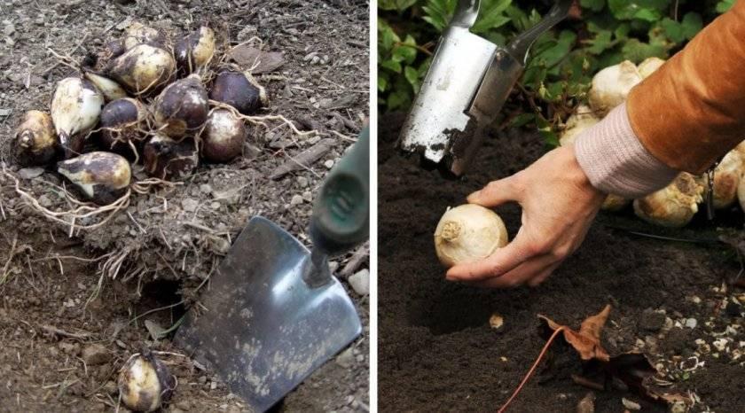 Сроки правила посадки гиацинтов в открытый грунт: рекомендации по уходу