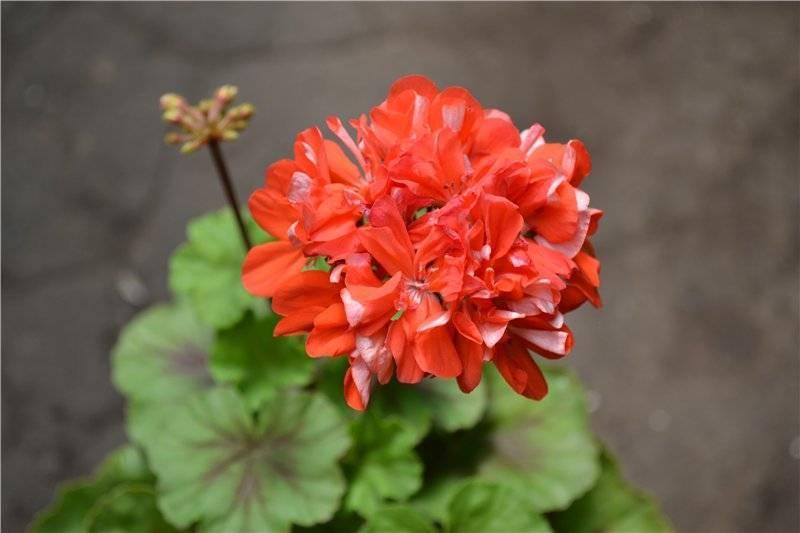 Пеларгония леди гертруда: описание растения и фото, особенности ухода за цветком, способы размножения, а также распространенные вредители и болезни