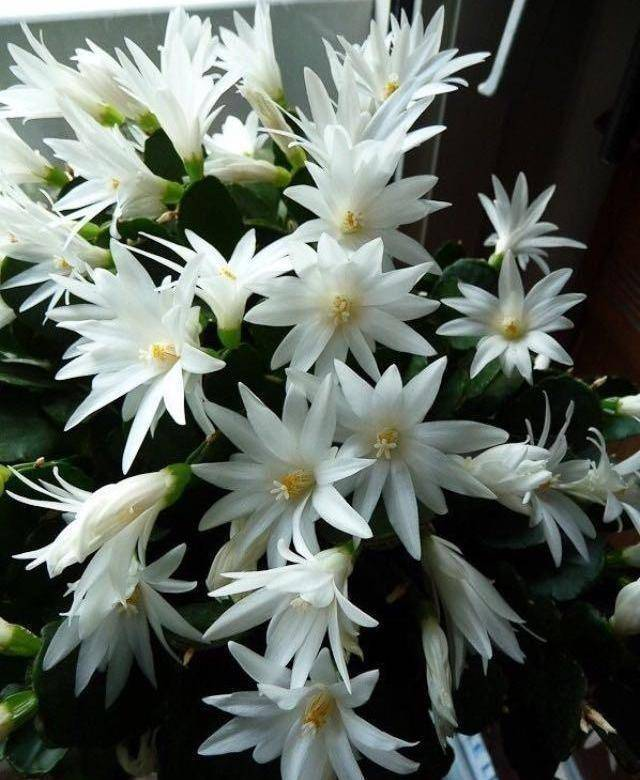 Рипсалидопсис: уход в домашних условиях и разновидности растения