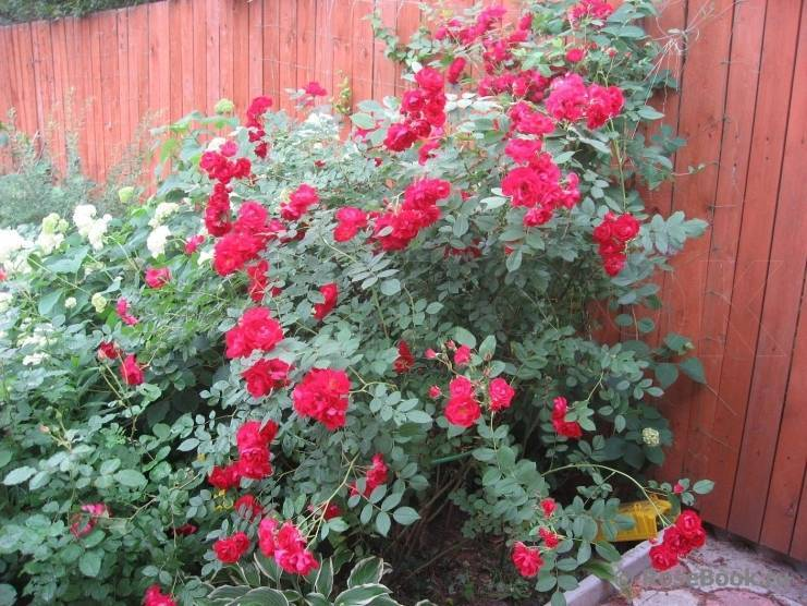 Роза аделаида худлесс фото и описание