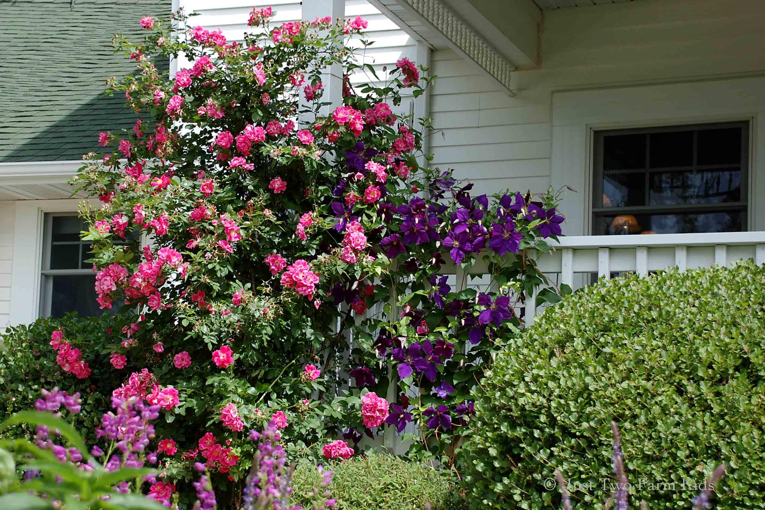 Лучшие сорта канадских роз