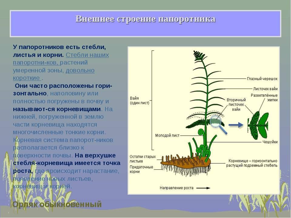 Какое строение папоротника — особенности листьев, корней папоротников
