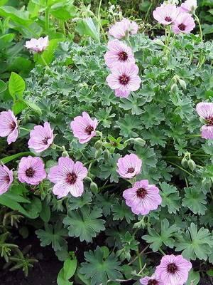 Комнатный цветок — герань гибридная. все о растении и уходе за ним