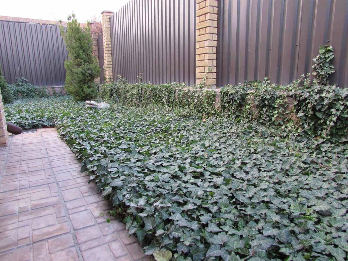 Кислица садовая многолетняя — выращивание в саду